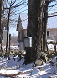Sap buckets at Shearer Hill farm